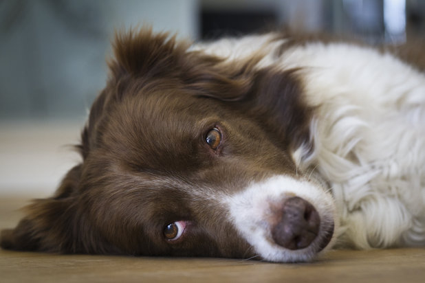 Border collie - story on Jess the Border Collie who was slashing neighbours tyres