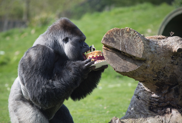 AmBam the gorilla celebrating his 24th birthday