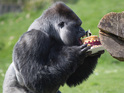 AmBam the gorilla celebrating his 24th birthday