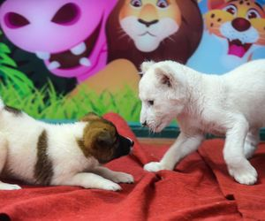 Lion cub is being fed by dog