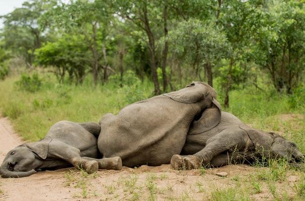 Elephants acting drunk 1
