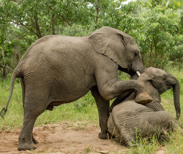 Elephant acting drunk 3