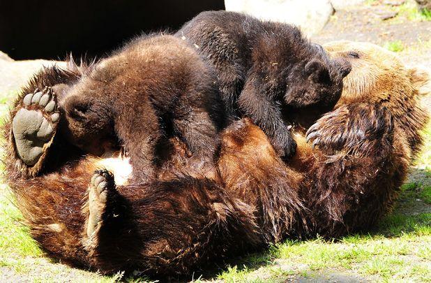 Bear jumping on his mum