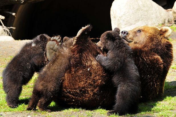 Trio of bears jumping on mother
