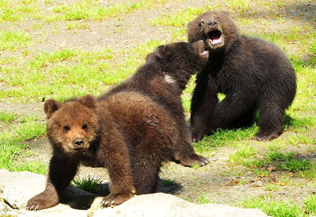 Trio of bear cubs play fighting
