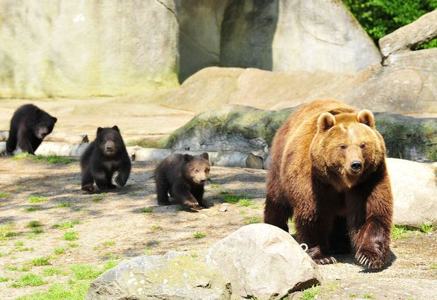 Mother bear leading her cubs