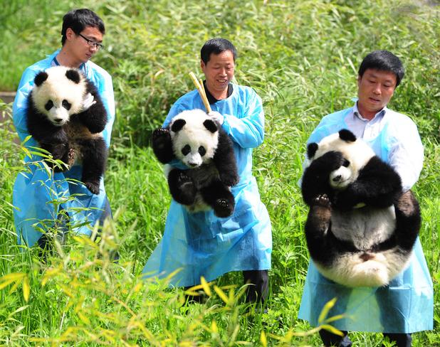 Giant panda cubs making their debut in Shaanxi
