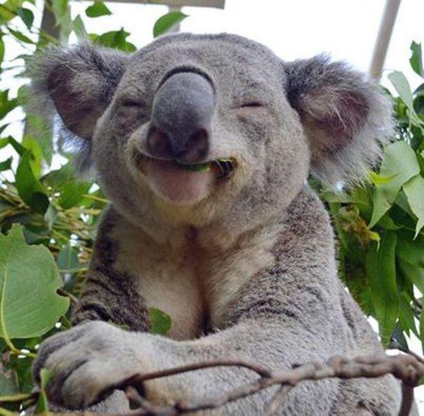 Koala poses for photo at Wild Life Sydney Zoo. April 2014.