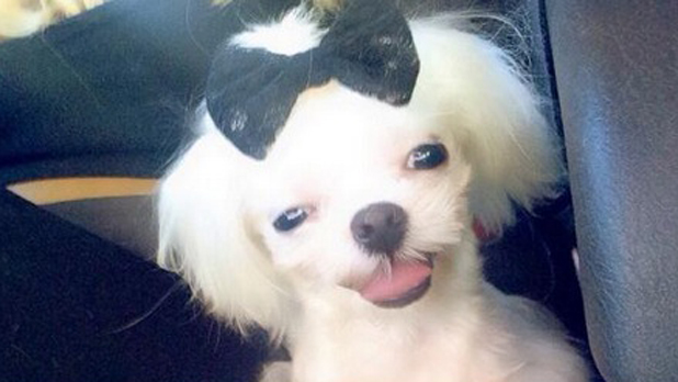 Courtney Stodden's new Maltese puppy cupcake, pictured April 2014