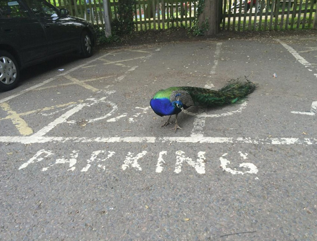 Victoria Beckham jokes a cock is in her parking space, 1 May 2014