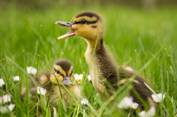 Ducklings embrace their surroundings at the Knowsley Safari Park in Prescot, Merseyside.