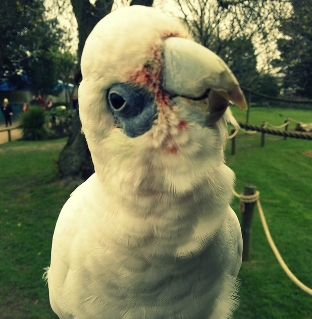 You talkin' to me Mo the Corella Cockatoo shows off his best Di Niro impression in this zelfie at Chessington World of Adventures Resort - 12 May