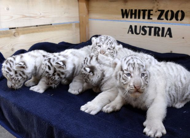Largest litter of rare white tigers