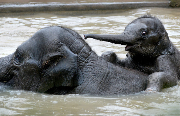 Man Jai, baby elephant going for his first swim
