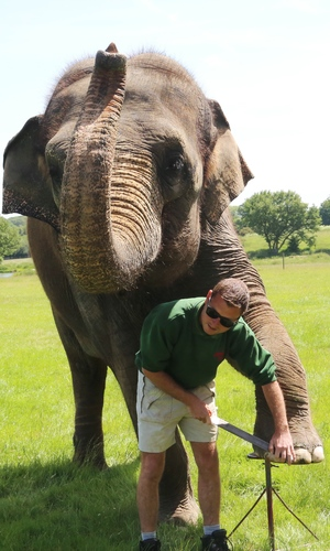 Whipsnade Zoo's elephants get pedicure, June