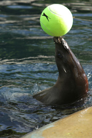 Sea lions get into the Wimbledon spirit at Chessington Zoo, 3 July