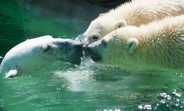 Baby polar bears swimming at Hellabrunn Zoo, Munich, Germany - 26 Jun 2014