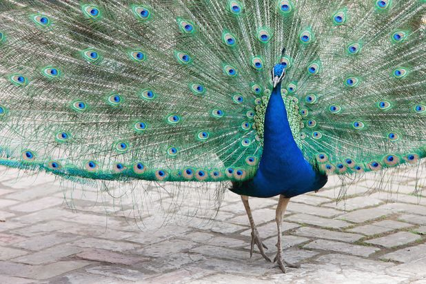 A peacock - a feral gang of 16 went on the rampage in Greater Manchester