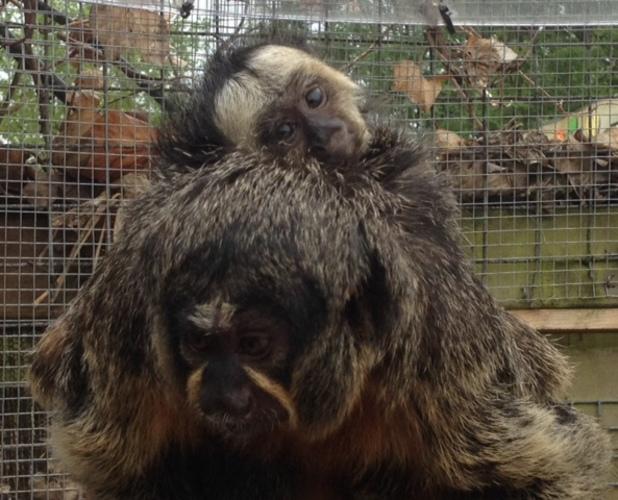 Poco - baby Saki monkey, Chessington Zoo, 10 July