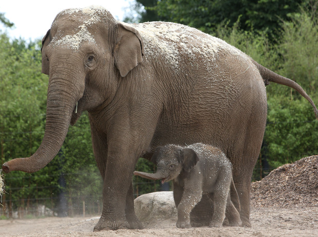 Baby elephant arrived at Dublin Zoo, 21 July 2014
