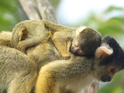 ZSL London Zoo mini squirrel monkey born, 24 July
