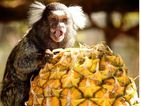 Teeny tiny monkey tucks into juicy pineapple - adorable snap!
