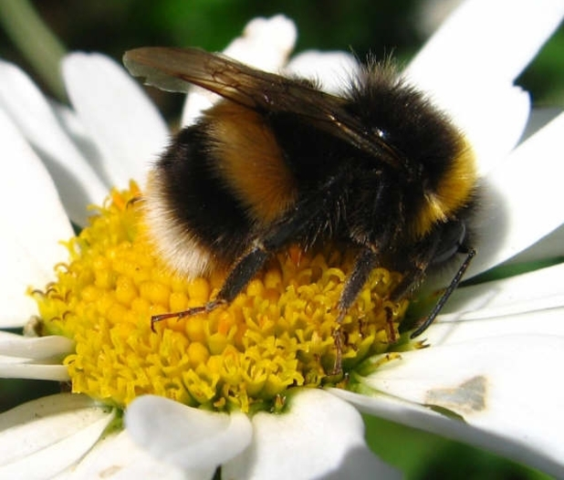 Cute Fuzzy Bumble Bee