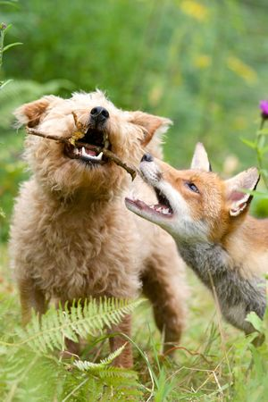 Maddy the dog and Rosie the fox strike up an unlikely friendship, North Wales 1 August
