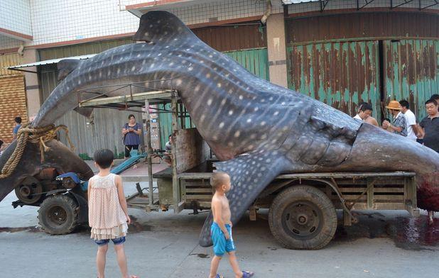 Fishermen catch 4.5m long whale shark, Shishi, Fujian Province, China - 01 Aug 2014