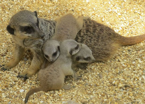 Litter of meerkat puppies at Marwell Zoo, Hampshire, Britain - 30 Jul 201