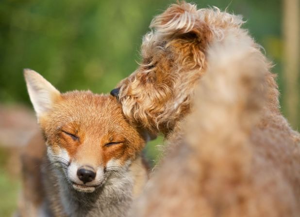 Maddy the dog and Rosie the fox form unlikely friendship, North Wales 1 August