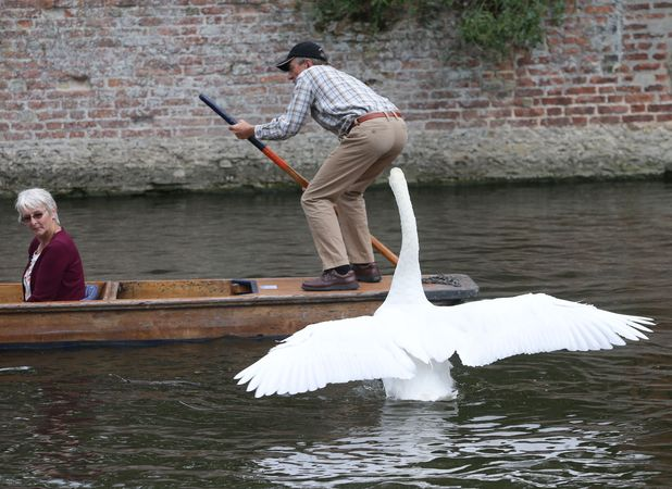 Asboy the swan is terrorising the Cambridge tourists