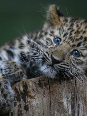 Kanika, Marwell Zoo's 13 week old Amur leopard cub, Winchester, Hampshire