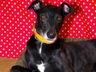 Jed the rescue dog has been overlooked by 17,000 potential owners