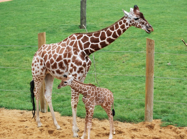 Baby giraffe settles in at Whipsnade Zoo 5 September