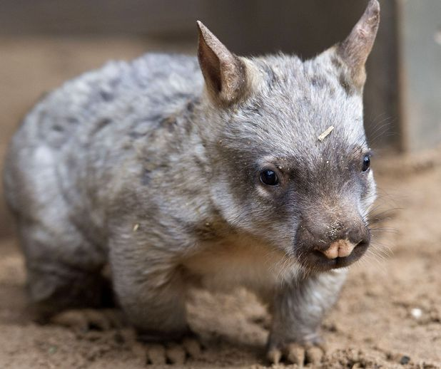Jedda the Southern Hairy-nosed Wombat joey at Melbourne Zoo, Australia - 17 Sep 2014