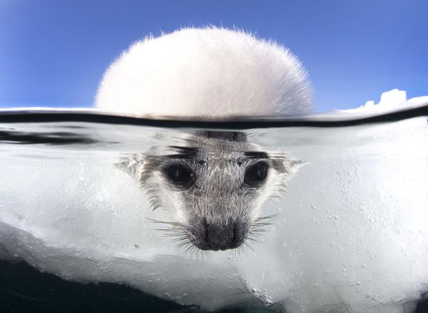 Baby harp seals, Magdalen Islands, Canada