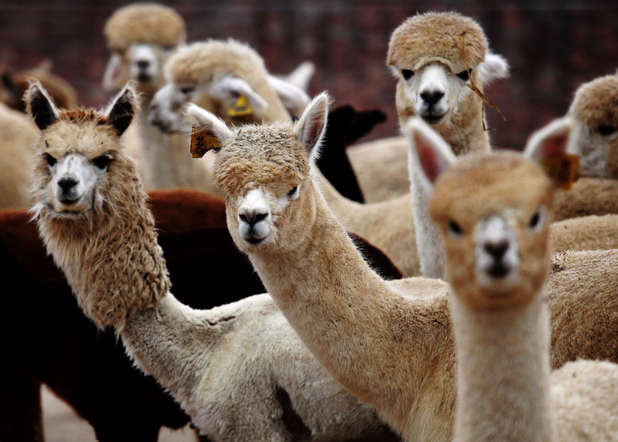Alpacas waiting to be picked up in China