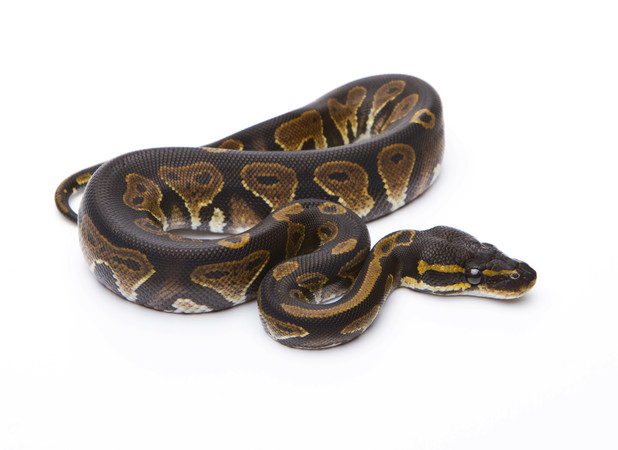 Natasha Evans, discovered 3ft Royal Python in the bath