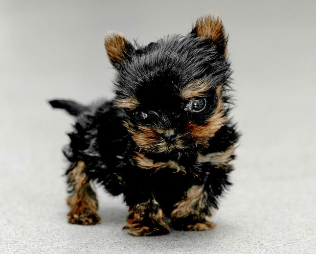Woman hand raises tiny miniature Yorkshire Terrier dog, Great Yarmouth, Norfolk, Britain 12 October