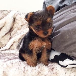 Perrie Edwards and Zayn Malik introduce new puppy, Teddy 4 November