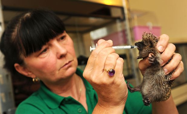 Animal lover turns spare bedroom into a hospital for hedgehogs, Hemsby, Norfolk, Britain 3 November