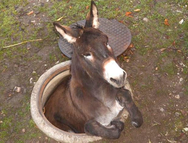Donkey stuck in manhole