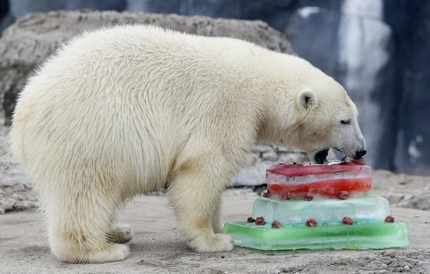 Polar bear celebrates 1st birthday at Toronto Zoo, Canada - 06 Nov 2014