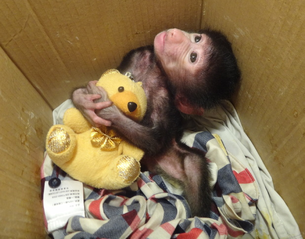 Baby baboon turns one-month-old in China, Xiamen, 12/10/14