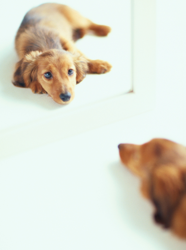 Dog staring at itself in mirror