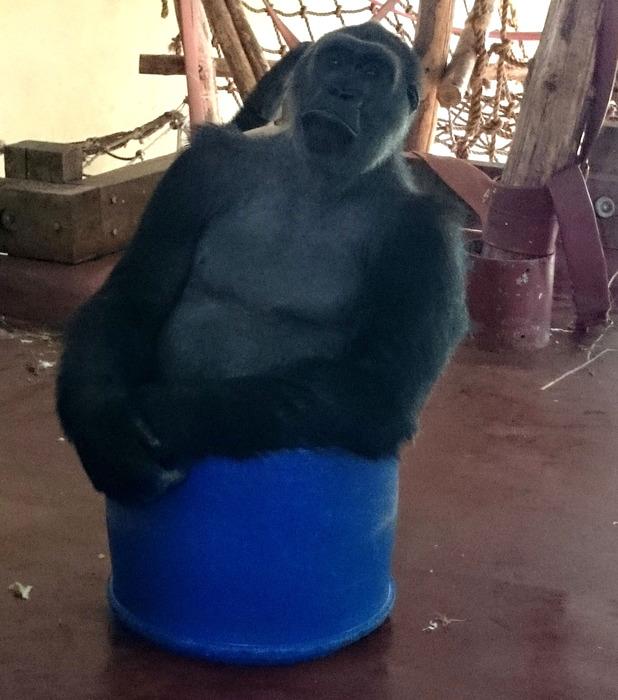 Kivu the gorilla plays in blue barrel