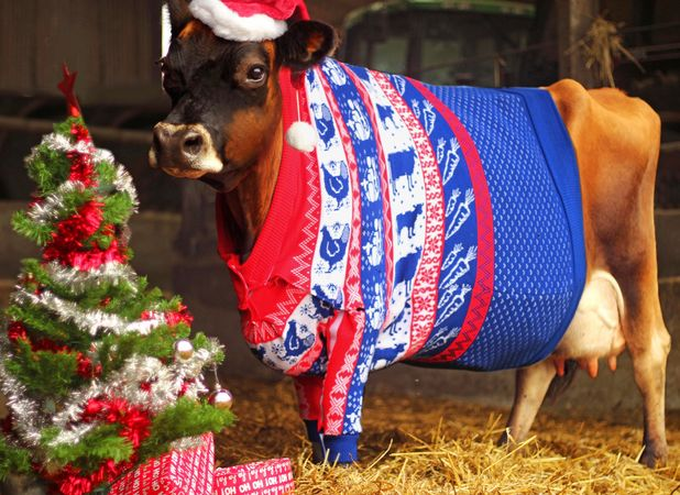 Gloria, Jersey purebred in a Christmas jumper