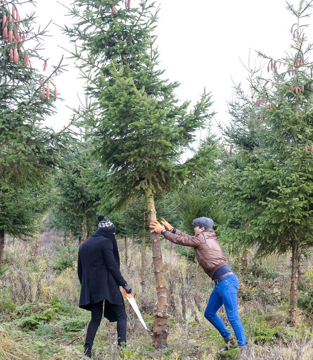 'The Only Way is Essex' cast filming, Harold's Park Farm, Nazeing, Essex, Britain - 25 Nov 2014 James Locke and Mario Falcone cut down an Xmas tree