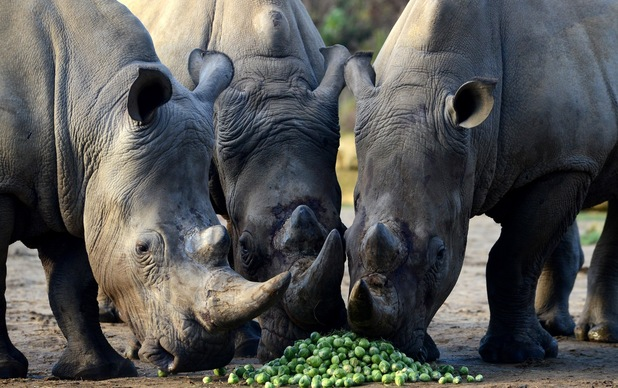 Chessington Zoo Rhinos eat Brussels sprouts